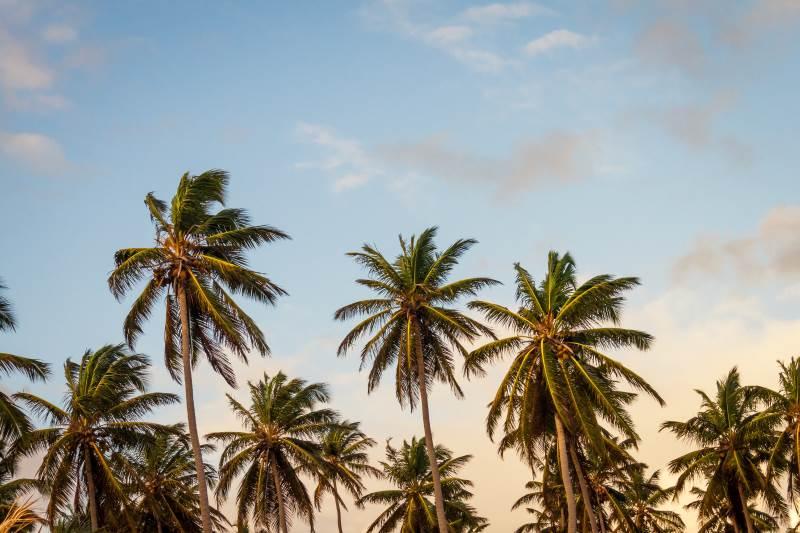 Über die Ausbreitung der Kokospalme