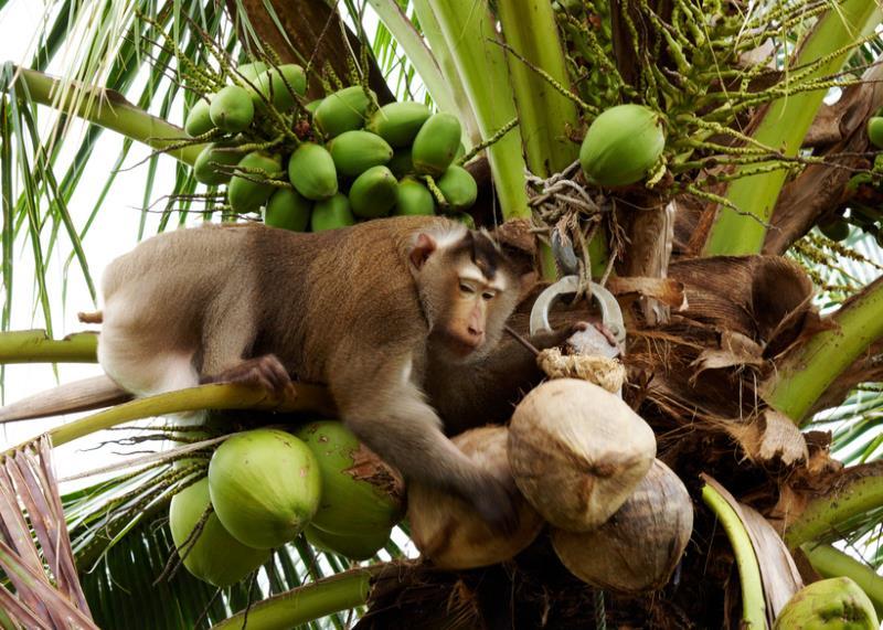 Affe erntet Kokosnuesse in Thailand