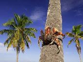 Der Palmendieb klettern eine Kokospalme empor.