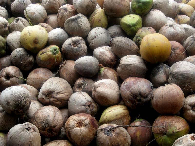 Junge Kokosnuss vs. reife Kokosnuss – Wo liegen die Unterschiede?