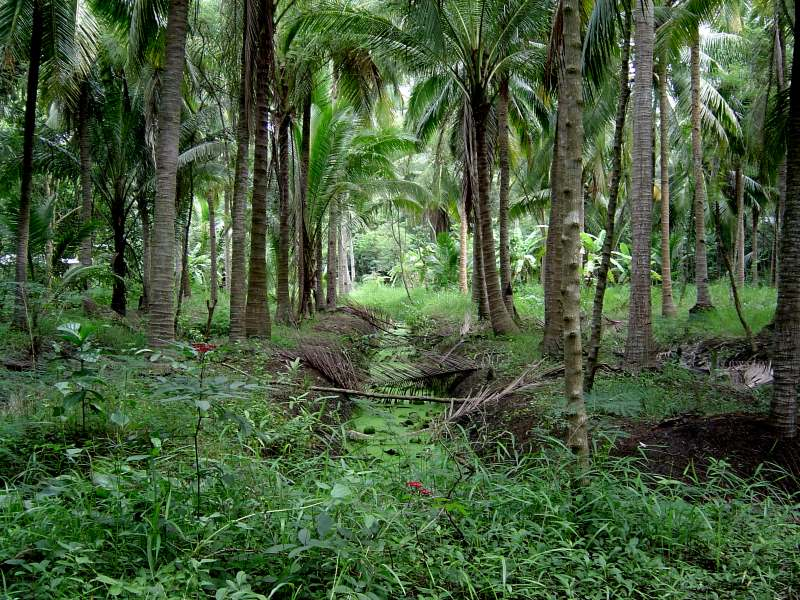 kokospalmen-mischkultur