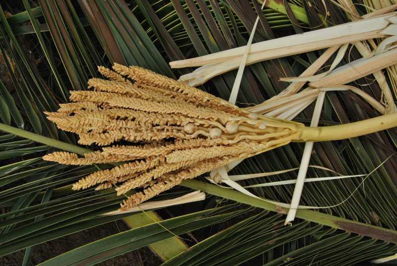 Kokosbluete-Indien