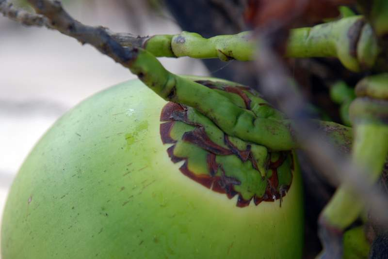 KULAU Power-Smoothie mit Moringa und Kokoswasser