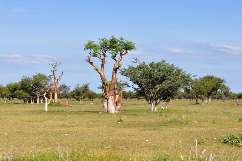 Moringa, der indische Lebensbaum
