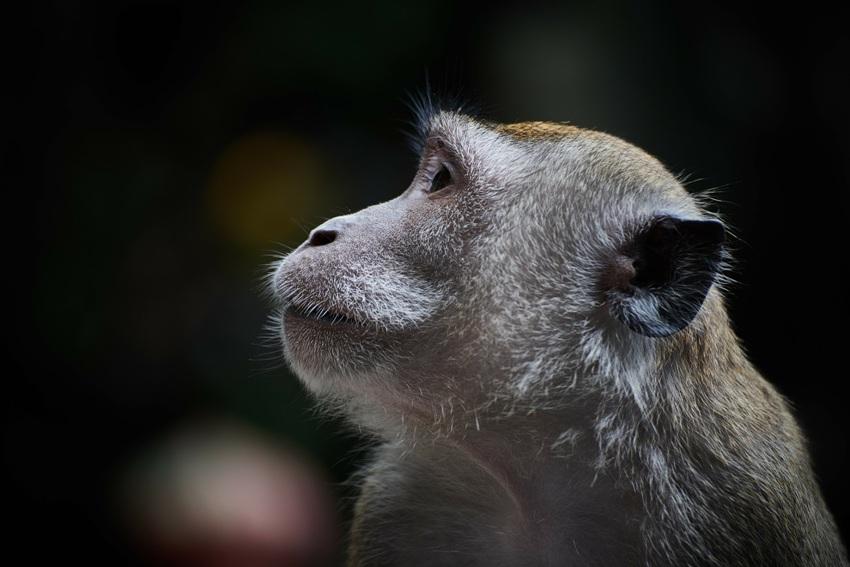 Affen bei der Kokosnuss-Ernte