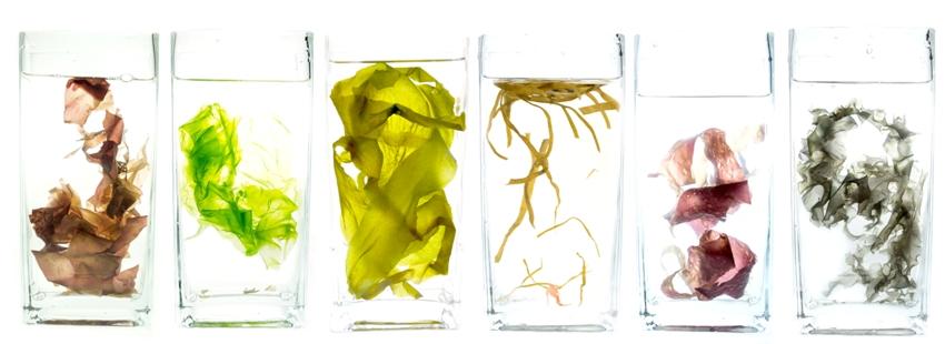 kulau-bio-algen