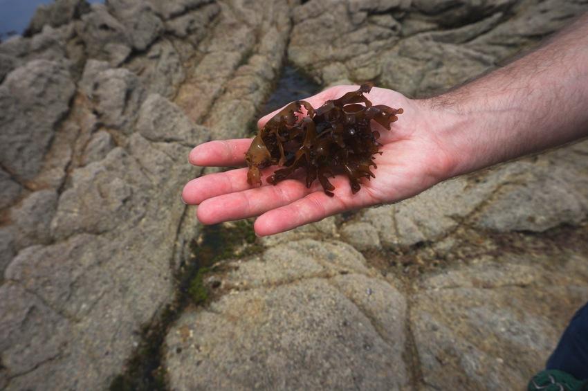 alge-bio-meer-kulau