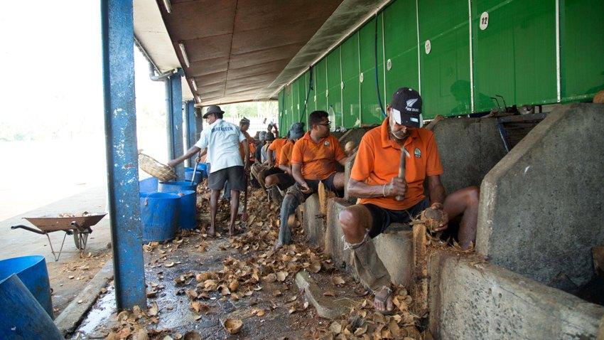 kokosnuss-entschalen-sri-lanka