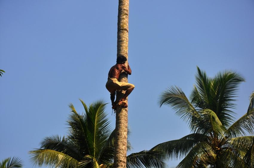 Man erntet Kokosnuesse