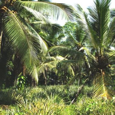 KULAU zu Besuch bei der Kokosöl-Produktion in Sri Lanka